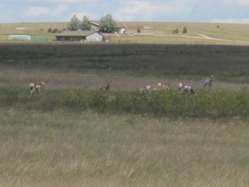 More antelope