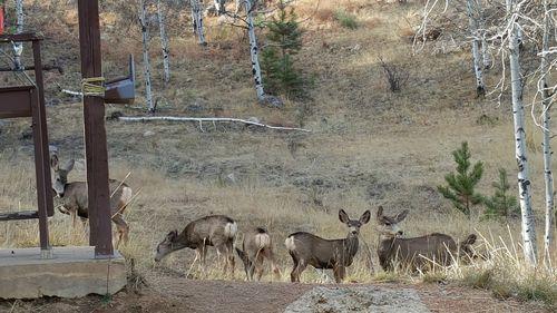 Camperee deer